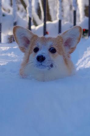 Corgin' In a Winter Wonderland! - The Daily Corgi