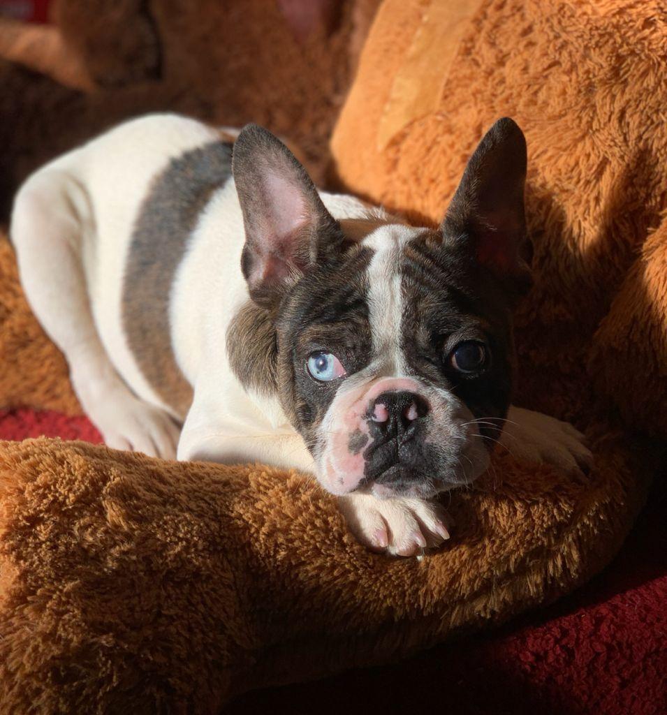 Bulldog Frances Argentina