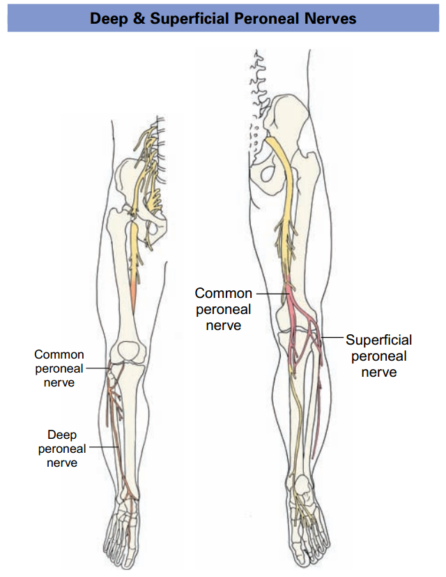 Physio study BD: Deep & Superficial Peroneal Nerve