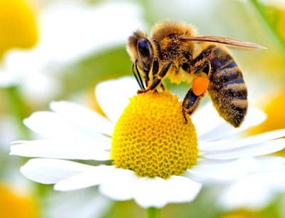 Lebah Hewan Berusia Pendek