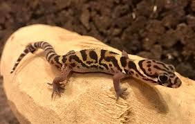 Where do banded geckos live?