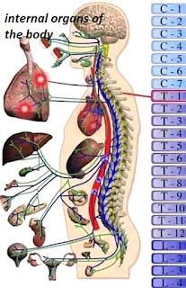 blood circulation and body organ