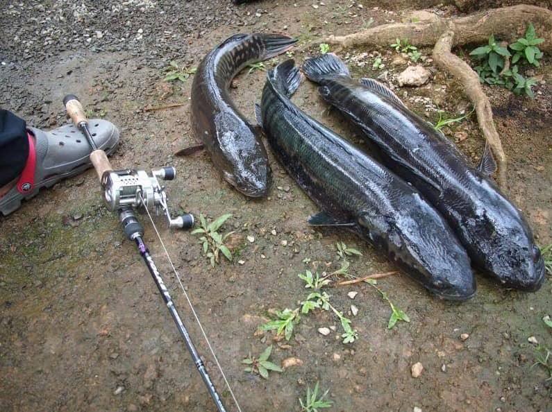 Kỹ thuật câu cá lóc