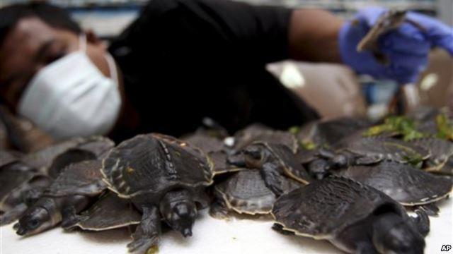 BKSDA DKI gagalkan penyelundupan Kura-kura Moncong Babi dan  Leher Panjang