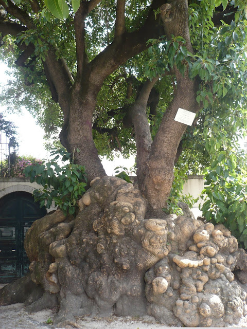 albero secolare Alfama