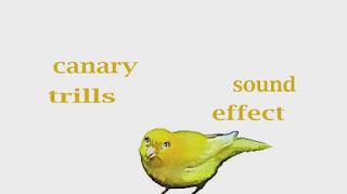 learn canary bird sounds