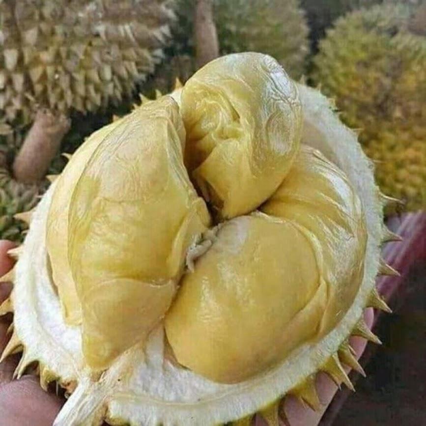 Bibit Tanaman Buah Durian montong Unggul varietas dijamin asli dan bergaransi Palu