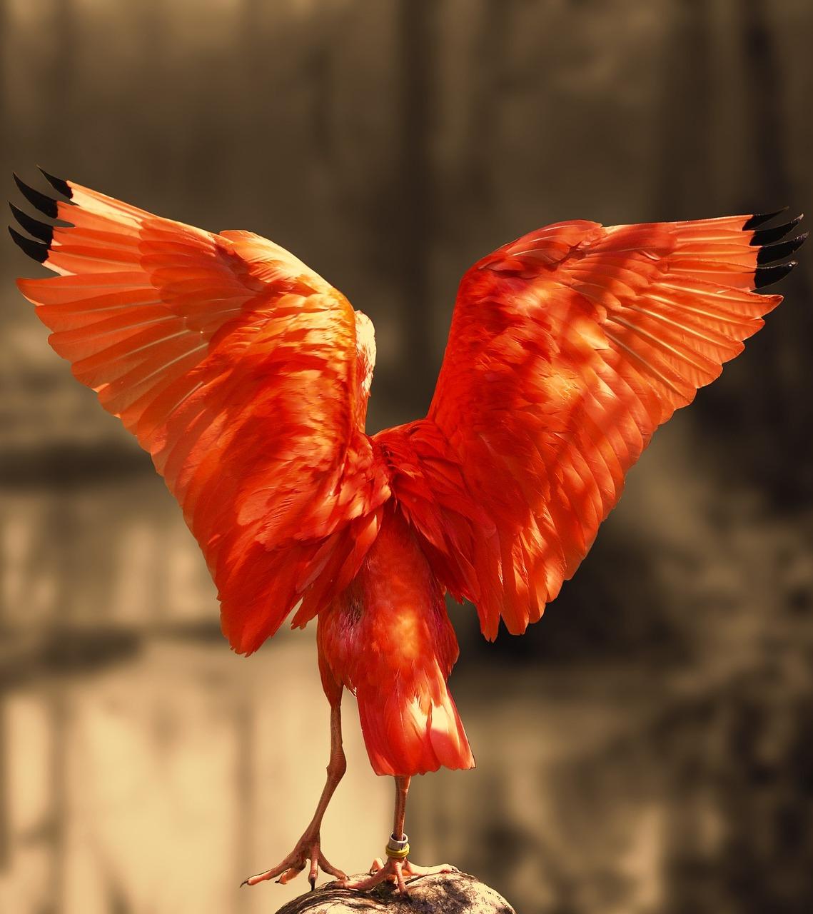 Scarlet ibis angel like wings.