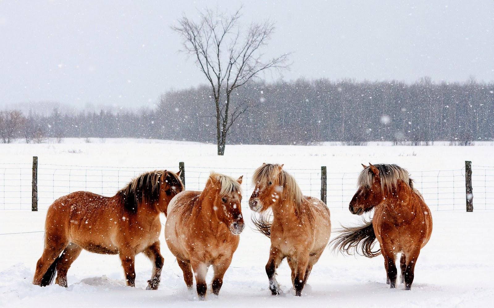 Foto bruine paarden in de sneeuw met de winter