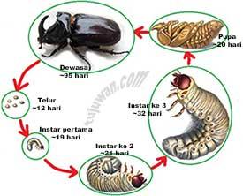 Tahap daur hidup pada kumbang badak(siklus hidup)