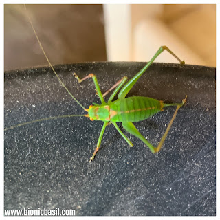 Other Creatures - Cricket - @BionicBasil® The Pet Parade