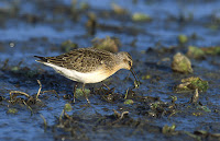 Curlew Sandpiper – Poland – Jan. 2005 – photo by Marek Szczepanek