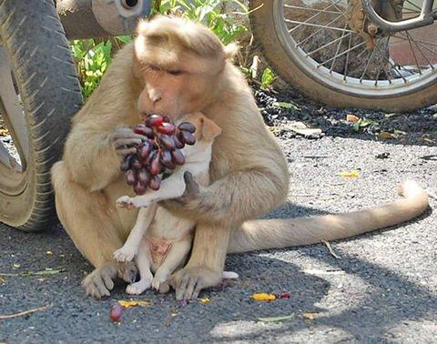 Monyet rhesus mengadopsi Anak Anjing di Erode India, video topeng monyet lucu, ciri ciri jenis monyet youtube, cerita anjingkita, gambar video anak anjing lucu, perlengkapan dan makanan anjing