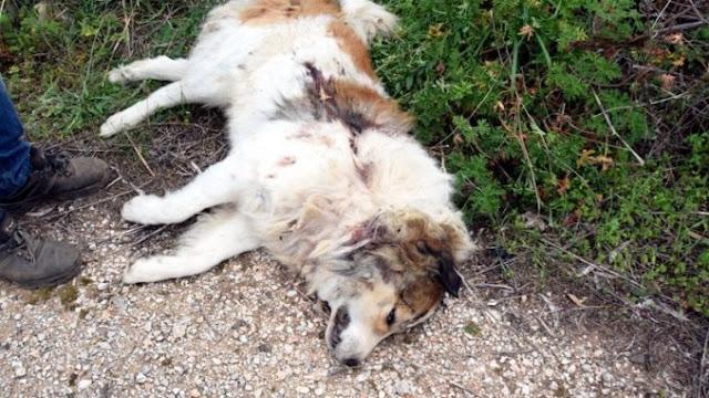 Οι κάτοικοι της περιοχής σοκαρισμένοι βρίσκονται μπροστά στο δολοφονημένο σκύλο, που όπως φαίνεται είναι ξεκάθαρα πυροβολημένο από μονόβολο.