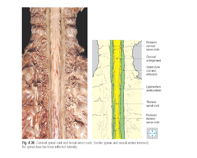 Cervical spinal cord and dorsal nerve roots. Erector spinae and neural arches removed; the spinal dura has been reflected laterally.