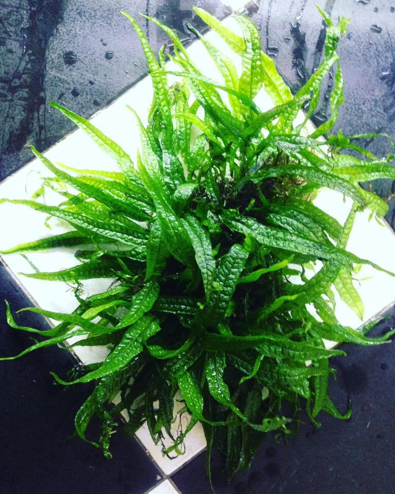 Vẻ đẹp tuyệt vời của cây thủy sinh Dương Xỉ Philip
