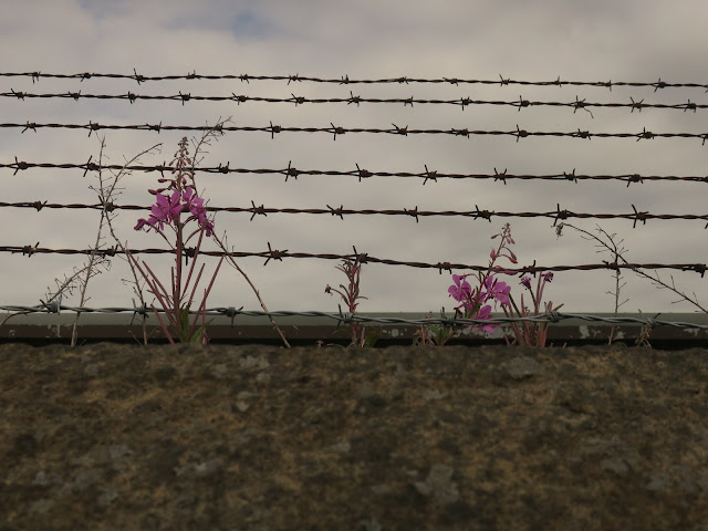 Willow Herb growing on wall with barbed wire like music stave. August 8th 2020