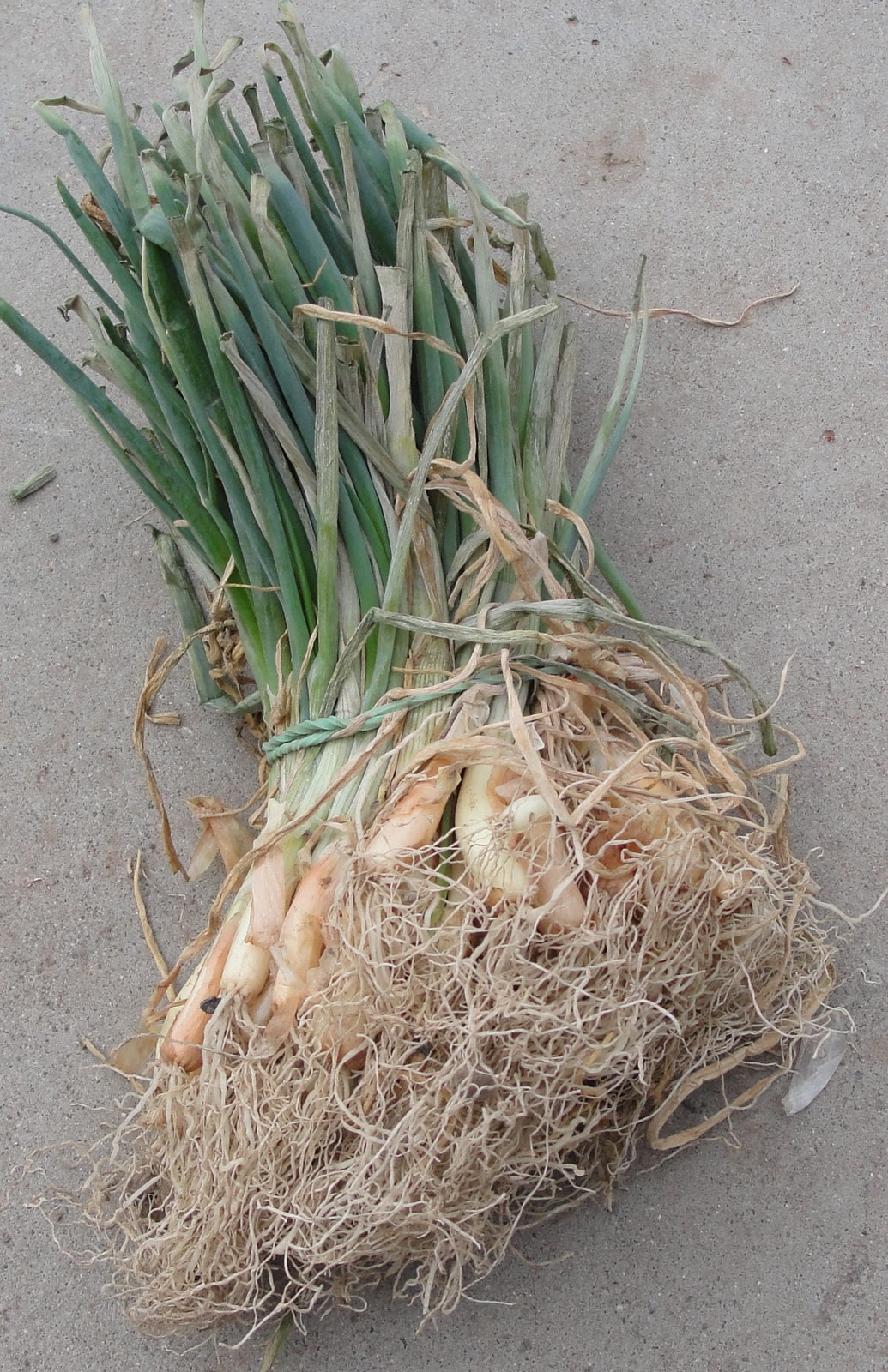 how to plant walla walla onion sets