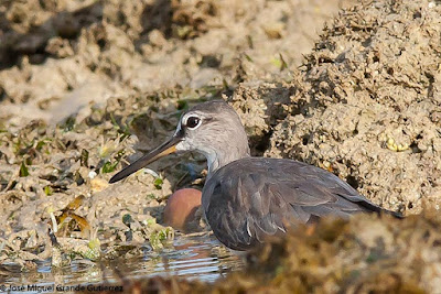 Heteroscelus brevipes - Grey-tailed Tattler
