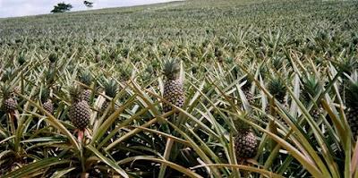 Piantagione di ananas.