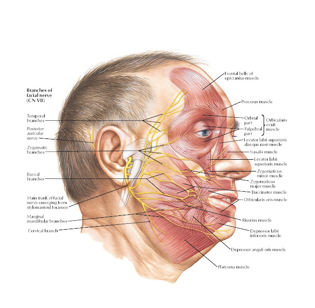 Musculature of Face Anatomy