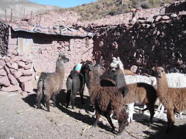Unseren Lamas macht die Kälte nichts aus. Wenn sie nur Futter haben, sind sie äusserst zufrieden.