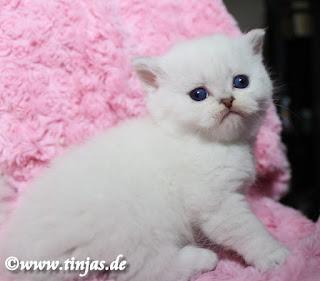 ns1133 Britisch Kurzhaar Katzenbabys