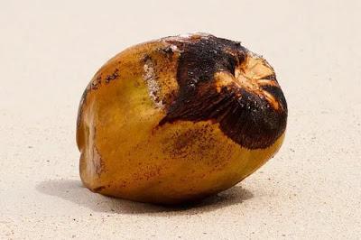 Coconut - Coconut in Hindi