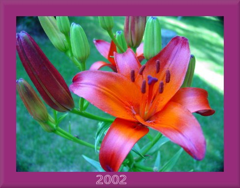 _deep orange red tipped asiatic lily photo