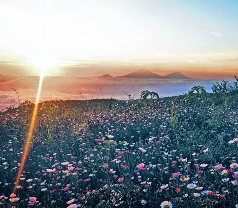 Lautan Bunga  Daisy di Gunung Prau