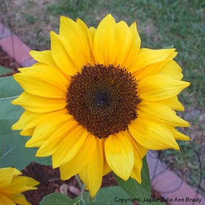 A Pretty Yellow Sunflower Blossom Slightly Different From the Rest