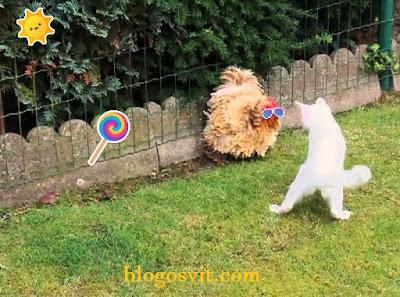 cat vs chicken funny