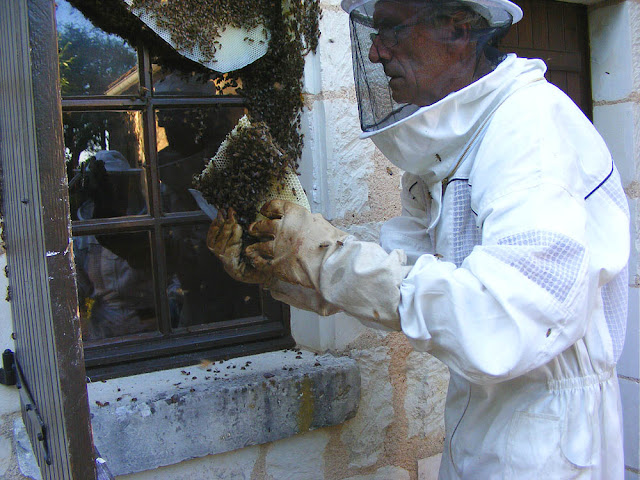 Rescuing a feral honey bee colony, Indre et Loire, France. Photo by Loire Valley Time Travel.