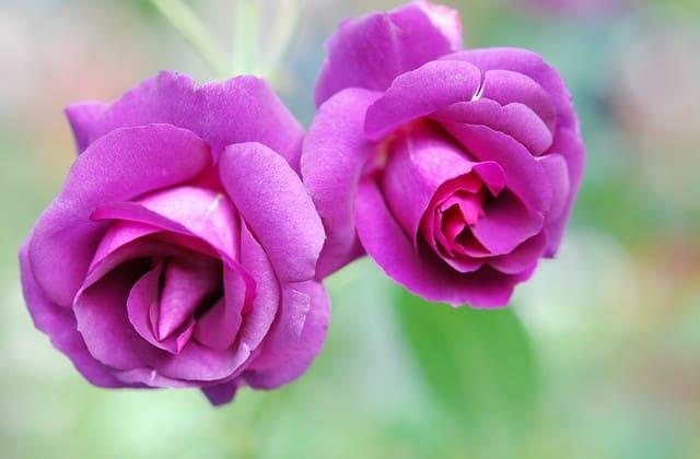 bunga mawar violet
