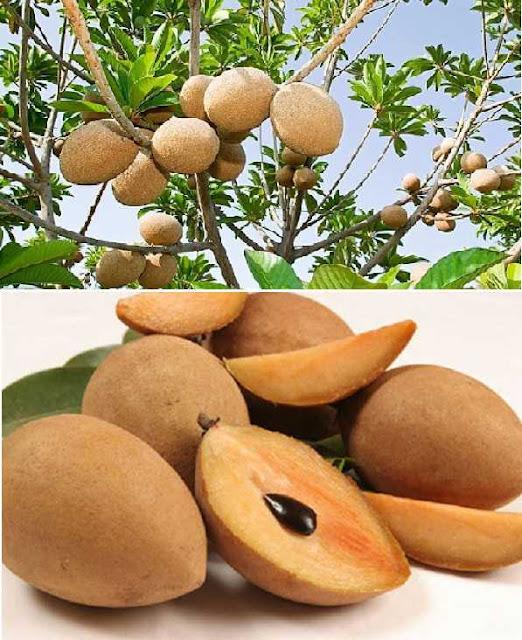 LÊKIMA (Hồng Xiêm) - Lucuma mammosa - Nguyên liệu làm Thuốc Bổ, Thuốc Bồi Dưỡng