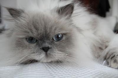 قط الهيمالايا : Himalayan Cat