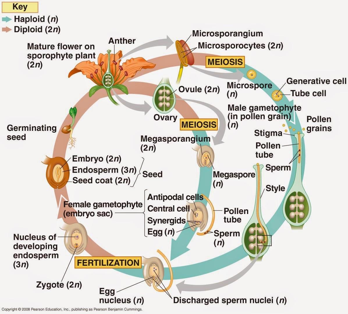 Odd Organisms Angiosperm Life Cycle