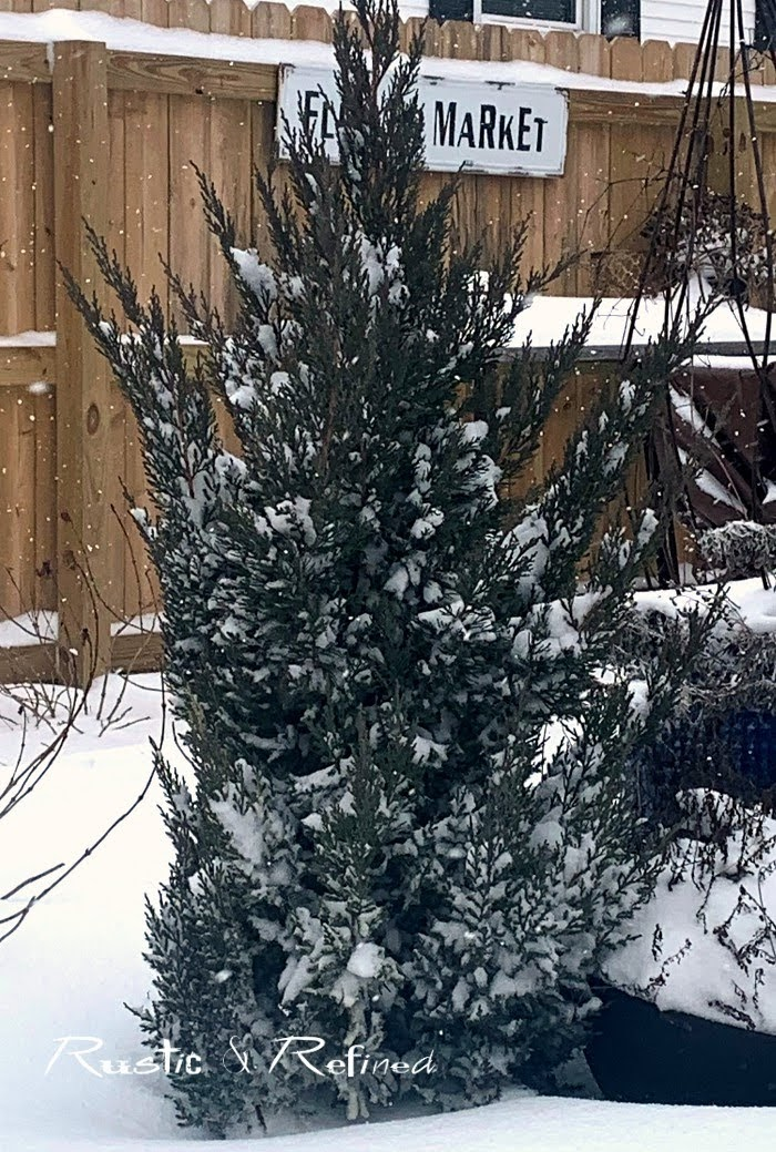 Adding winter interest in the garden using evergreens and conifers for color and structure.