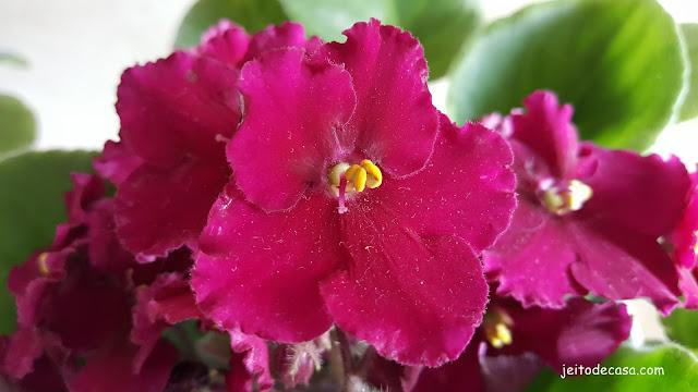 flores-violetas