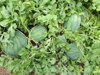 cara panen semangka, semangka bali flower, semangka cap kapal terbang, jual muarah, harga promo, toko pertanian, lmga agro