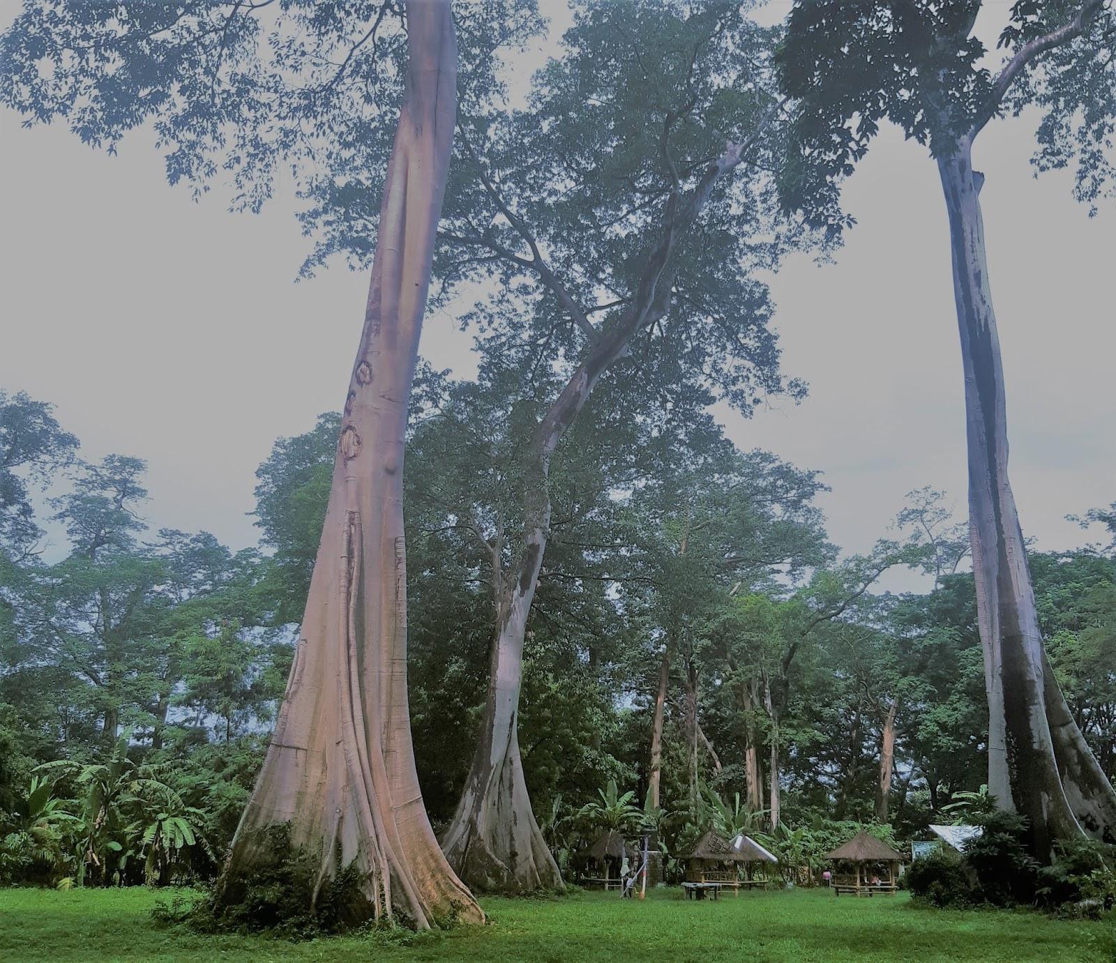 Pohon langka LIAN purba di Lombok Timur, fakta & keunikannya