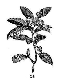 tea plant botanical antique illustration clipart download