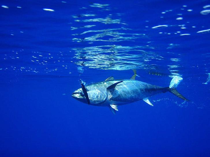 Ciri Ciri Ikan Tuna Secara Lengkap