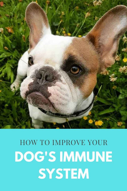 How to Boost Your Dog's Immune System