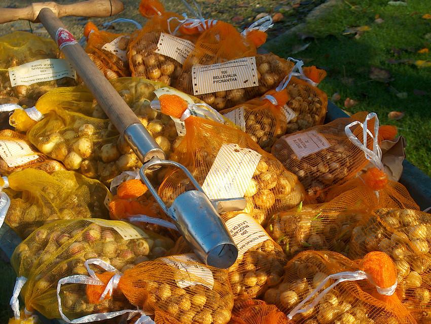 Bulbos secos en bolsas y plantador de bulbos