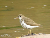 Spotted Sandpiper – Souris area, PEI – July 24, 2017 – Roberta Palmer