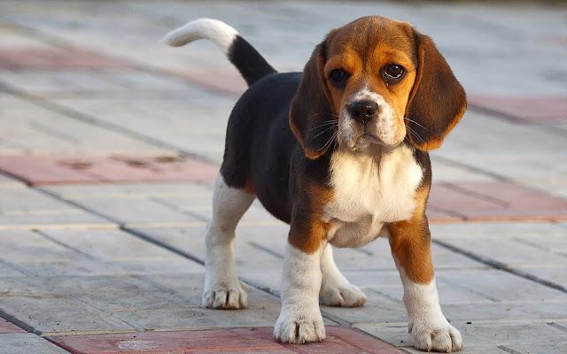 Lief schattig beagle hondje buiten op straat