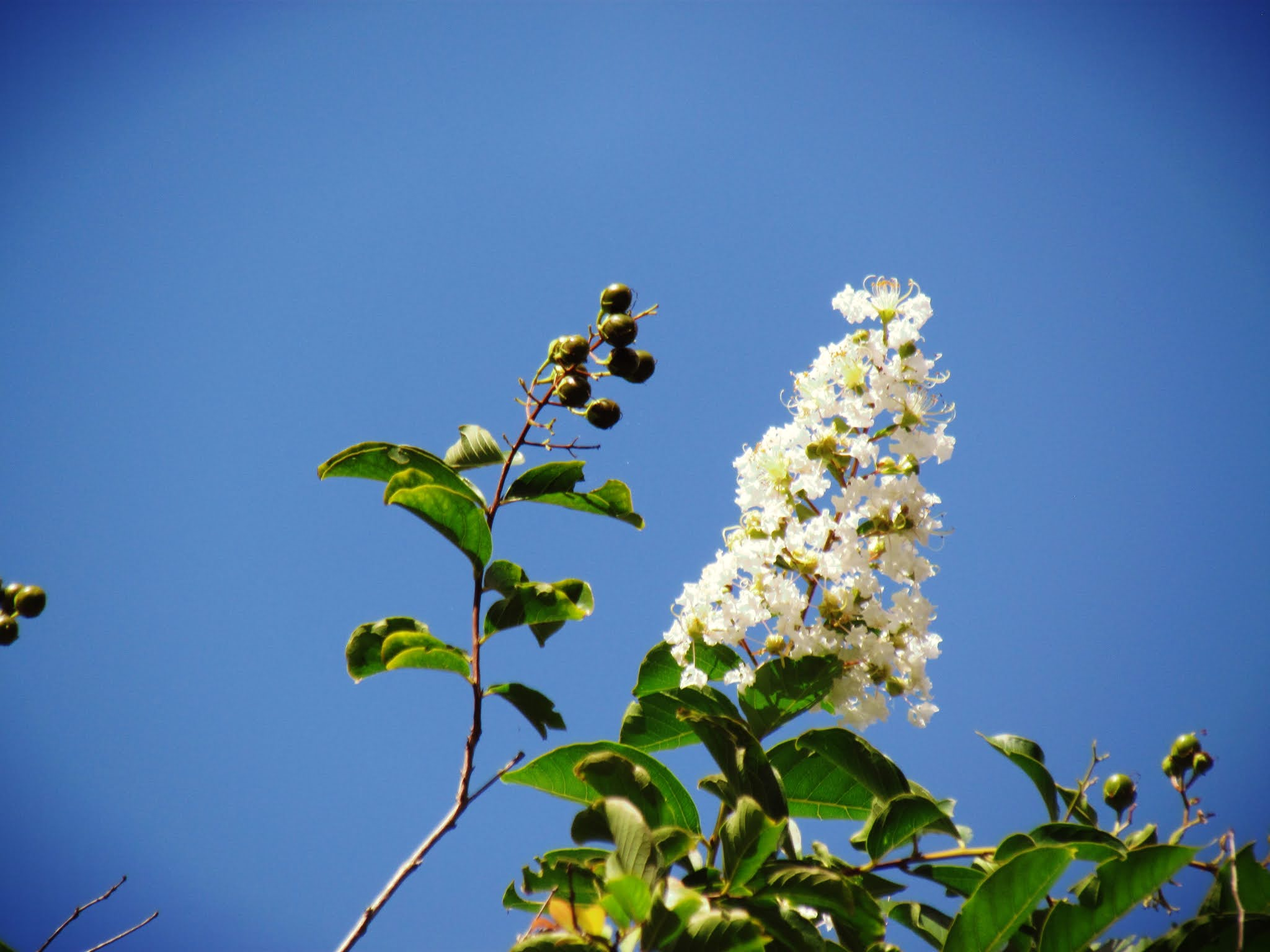 a pretty white flowered tree with a blue skies background in Florida