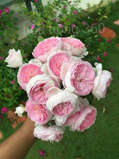 hoa hong mon coeuf