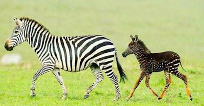 La Canzone di Mina   diventa realtà in Kenya: è nato il primo esemplare   con i puntini al posto delle strisce